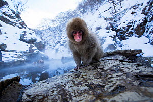 Japanese Macaque (Macaca fuscata) baby sitting on the edge of thermal hotspring pool. Jigokudani Yean-Koen National Park, Japan, February. - Anup Shah