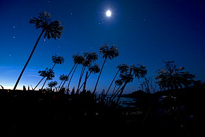 Agapanthus flowers in moonlight. St Marys, Isles of Scilly, England, UK, August.  -  Michael Pitts