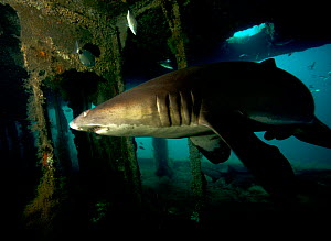 Sand tiger shark (Carcharias taurus) on the wreck of the 'Aeolus'. North Carolina, USA, September 2013.  -  Michael Pitts