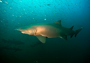 Sand tiger shark (Carcharias taurus) offshore from Cape Lookout, North Carolina, USA, September.  -  Michael Pitts