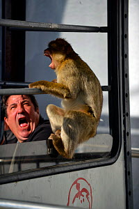 Barbary macaque (Macaca sylvanus) in threat display with person looking scared, on the cable car lift, Gibraltar, December. - Michael Pitts