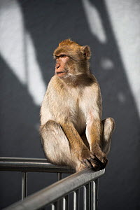 Barbary macaque (Macaca sylvanus) on the cable car safety guard fence, Gibraltar, December. - Michael Pitts
