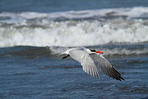Caspian tern (Sterna caspia) flying over beach, Tanji Beach, Gambia, West Africa.  -  Mike Wilkes