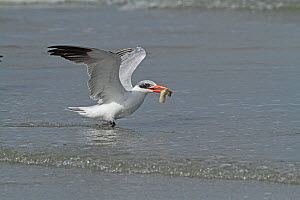 Caspian tern (Sterna caspia) feeding on fish, Tanji Beach, Gambia, West Africa.  -  Mike Wilkes