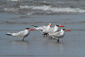 Caspian terns (Sterna caspia) resting on beach, Tanji Beach, Gambia, West Africa.  -  Mike Wilkes