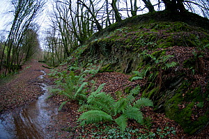 Wide angle view of Male Fern (Dryopteris filix-mas) with spreading rosette of fronds, growing in old railway cutting near Ilfracombe, Devon, UK, December 2013.  -  John Waters