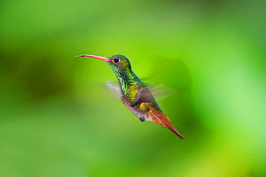 Rufous-tailed Hummingbird (Amazilia tzacatl) in flight, Choco, Ecuador. - David Tipling