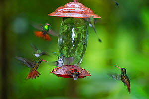 Rufous-tailed Hummingbirds (Amazilia tzacatl) at feeder Choco, Ecuador. - David Tipling