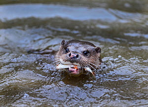 Otter (Lutra lutra) with Roach prey, River Thet, Norfolk, England, UK, April. - David Tipling