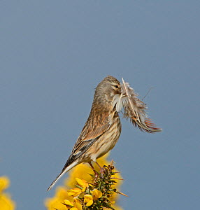 Linnet (Carduelis cannabina) female with feathers to line nest, Norfolk, England, UK, May. - David Tipling