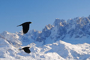 Two Alpine / Yellow-billed choughs (Pyrrhocorax graculus) in flight with Mont Blanc, Europe's highest mountain, in the background, Flaine, French Alps, Haute Savoie, France, December.  -  Nick Upton