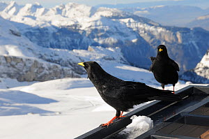 Two Alpine / Yellow-billed choughs (Pyrrhocorax graculus) perched on the balcony of a mountain restaurant with the Alps in the background, Flaine, Haute Savoie, France, December.  -  Nick Upton