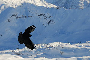 Alpine / Yellow-billed chough (Pyrrhocorax graculus) in flight below Mont Blanc, Europe's highest mountain, Flaine, French Alps, Haute Savoie, France, December.  -  Nick Upton