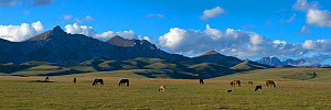 Song-Kul Lake horses and cattle grazing on their summer pasture, Karatal-Japyryk State Nature Reserve, Tian Shan mountains, Kyrgyzstan, Central Asia, July 2013. Stiched panorama out of two exposures.  -  Axel  Gomille