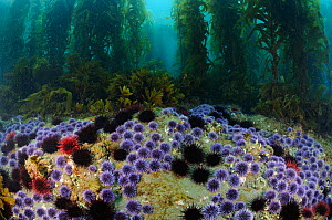 Red Sea Urchins (Stronglyocentrotus franciscanus) and Purple Sea Urchins (Stronglyocentrotus purpuratus) feeding on bottom algae and Giant kelp (Macrocystis pyrifera), Channel Islands National Marine... - Brandon Cole
