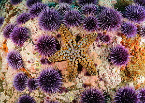 Giant sea Star (Pisaster giganteus) and Purple sea urchins (Stronglyocentrotrus purpuratus) on a coral reef, Channel Islands National Marine Sanctuary, California, USA, August.  -  Brandon Cole