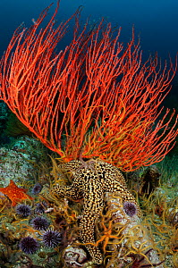 Red gorgonian coral (Lophogorgia chilensis), Giant sea star (Pisaster giganteus), purple sea urchins (Stronglyocentrotus purpuratus) and Spiny brittle stars (Ophiothrix spiculata) on a coral reef, Cha...  -  Brandon Cole
