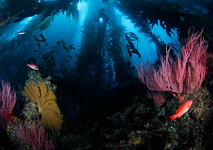 Scuba diver in a forest of Giant kelp (Macrocystis pyrifera), with Red gorgonians (Lophogorgia chilensis), Golden gorgonians (Muricea californica), and California sheephead (Semicossyphus pulcher), Ch...  -  Brandon Cole