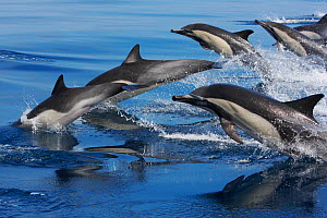 Large group of Common dolphins (Delphinus delphis) breaching, Channel Islands National Marine Sanctuary, California, USA, August. - Brandon Cole