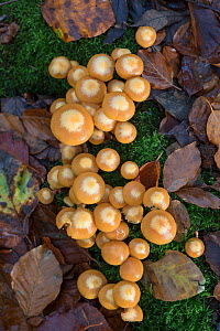 Sheathed Woodtuft fungi (Kuehneromyces mutabilis) Surrey, England, UK, November. - Adrian Davies