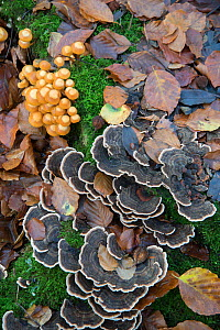 Sheathed Woodtuft (Kuehneromyces mutabilis) and Turkeytail (Trametes versicolor) fungi,  Surrey, England, UK, November.  -  Adrian Davies