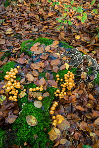 Sheathed Woodtuft (Kuehneromyces mutabilis) and Turkeytail (Trametes versicolor) fungi Surrey, England, UK, November.  -  Adrian Davies
