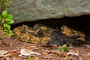 Timber rattlesnakes (Crotalus horridus) gravid females basking to bring young to term, Pennsylvania, USA, July. - John Cancalosi