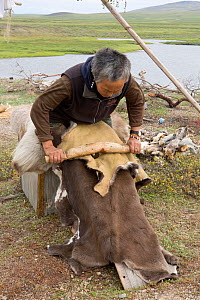 Vera Rakhtuvia, a Chukchi elder, softening a reindeer skin with a tradional scraping tool at a reindeer herders' summer camp on the tundra. Iultinsky District, Chukotka, Siberia, Russia, August 2013.  -  Bryan and Cherry Alexander