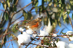 Redwing (Turdus iliacus) looking for Cotoneaster berries, Warwickshire, England, UK, December. - Mike Wilkes