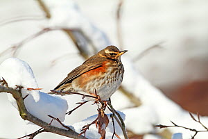 Redwing (Turdus iliacus) puffed up against the cold, Warwickshire, England, UK, December. - Mike Wilkes