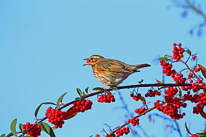 Redwing (Turdus iliacus) eating Cotoneaster berries, Warwickshire, England, UK, November. - Mike Wilkes