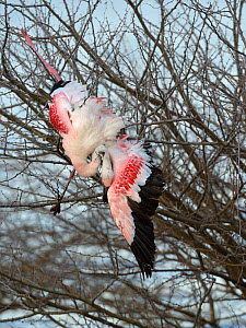 Lesser Flamingo (Phoenicopterus minor) caught in tree and dead from exhaustion, Nakuru Lake NP, Kenya.  -  Loic  Poidevin
