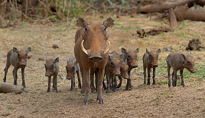 Warthog (Phacochoerus aethiopicus) with large group of young, Masai Mara, Kenya.  -  Loic  Poidevin