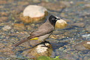 White spectacled bulbul (Pycnonotus xanthopygos) perched on rock in stream, Oman, May  -  Hanne & Jens Eriksen
