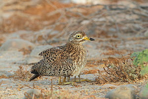 Spotted thick knee (Burhinus capensis) adult covering chicks with wings, Oman, May - Hanne & Jens Eriksen