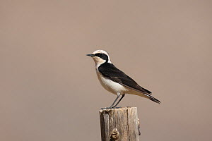 Pied wheatear (Oenanthe pleschanka vittata) male perched on fence, Oman, April  -  Hanne & Jens Eriksen