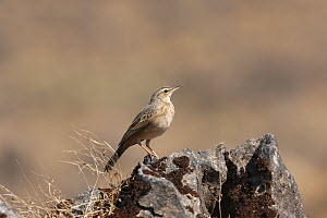 Long billed pipit (Anthus similis) on rock, Oman, November  -  Hanne & Jens Eriksen