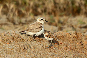 Kentish plover (Charadrius alexandrinus) female with chick, Oman, May  -  Hanne & Jens Eriksen