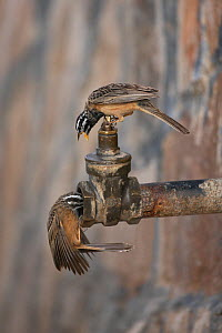 Cinnamon breasted bunting (Emberiza tahapisi) two drinking from water pipe, Oman, November - Hanne & Jens Eriksen