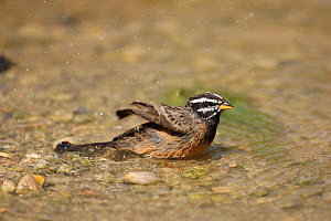 Cinnamon breasted bunting (Emberiza tahapisi) bathing, Oman, September - Hanne & Jens Eriksen