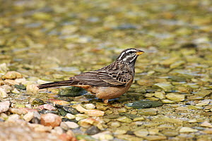 Cinnamon breasted bunting (Emberiza tahapisi) at water, Oman, September - Hanne & Jens Eriksen