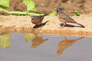 Cinnamon breasted bunting (Emberiza tahapisi) male and female at water, Oman, September - Hanne & Jens Eriksen
