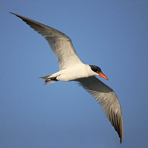 Caspian tern (Sterna caspia) in flight, Oman, January  -  Hanne & Jens Eriksen