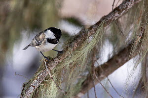 Coal tit (Parus ater) on branch with Old man's beard lichen (Usnea) Djuga, Kavkazsky Zapovednik, west Caucasus Mountains, Adygea, Russia, March.  -  Dr.  Axel Gebauer