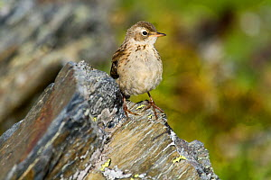 Water pipit (Anthus spinoletta) on rocks, Abago, Kavkazsky Zapovednik, Russia, July. - Dr.  Axel Gebauer
