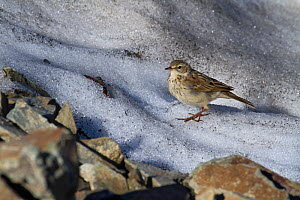 Water pipit (Anthus spinoletta) on a snowfield, Abago, Kavkazsky Zapovednik, Russia, July. - Dr.  Axel Gebauer