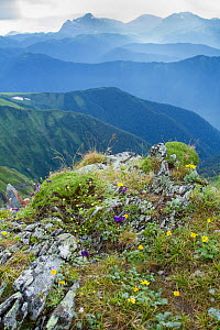 Mountain flowers and landscape, Abago, Kavkazsky Zapovednik, Russia, July 2012. - Dr.  Axel Gebauer