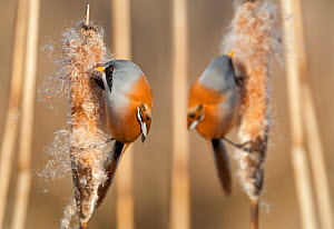 Two male Bearded reedling (Panurus biarmicus) eating seeds from the spike of a common bulrush (Typha latifolia) in a reedbed, Belgium, January. Digital composite.  -  Philippe Clement