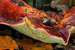 Close up of a Beefsteak fungus (Fistulina hepatica), showing underside, Belgium, October.  -  Philippe Clement