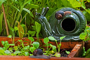 Common garden snail (Helix aspersa) on a decorative snail and slug beer trap in a vegetable garden, Belgium, July.  -  Philippe Clement